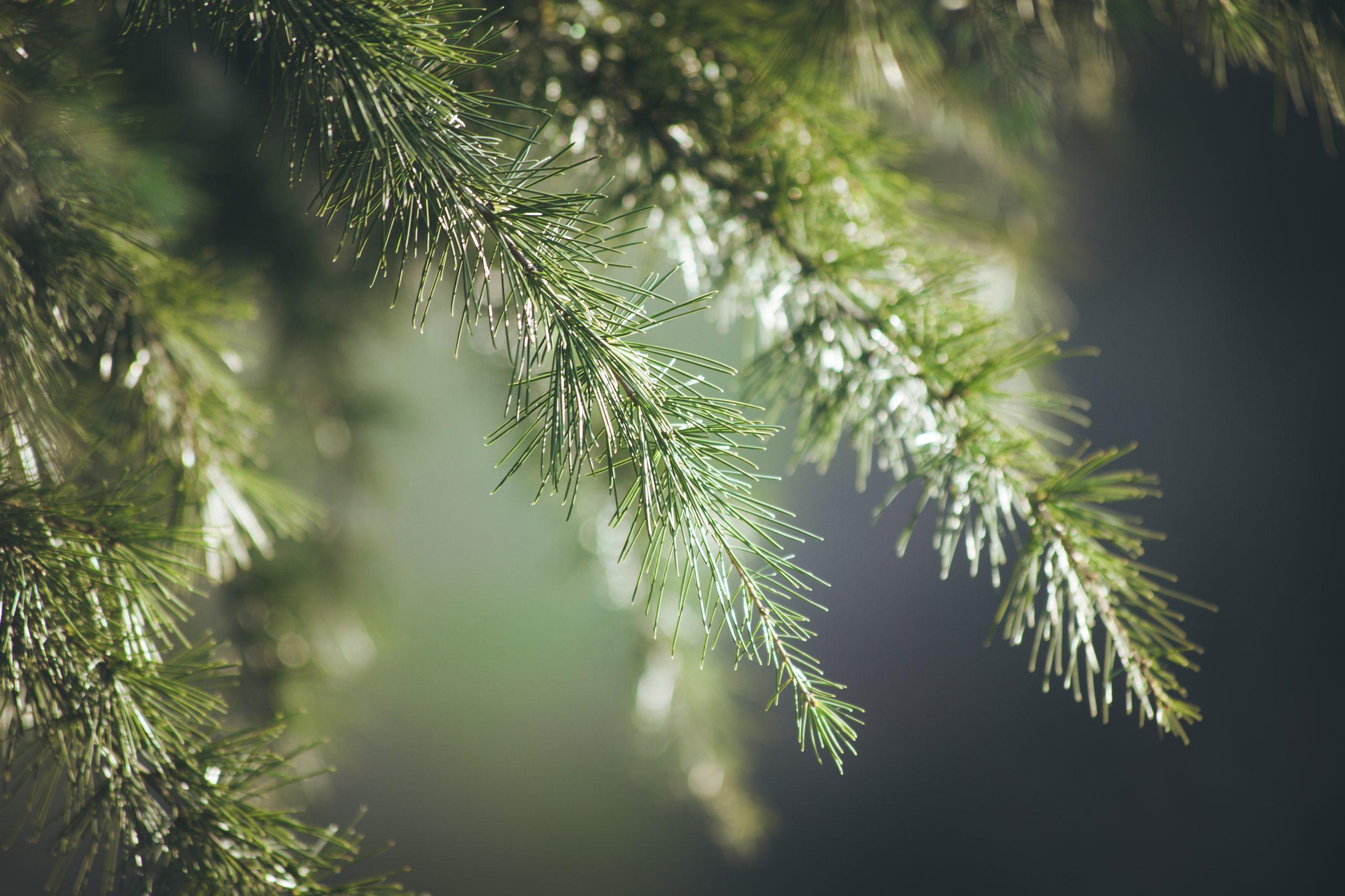 evergreen tree service