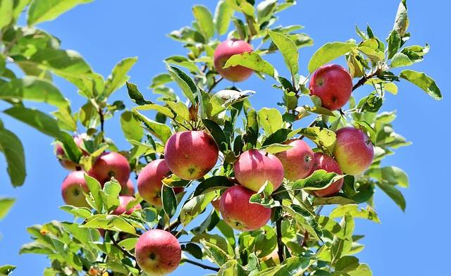 trimming fruit trees