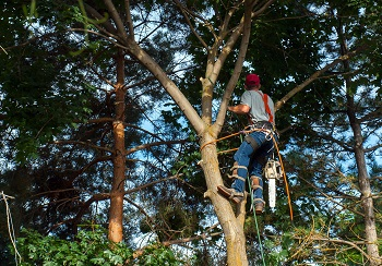 Maple Tree Trimming in Colorado Springs