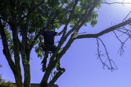Trim an ash tree in Colorado springs