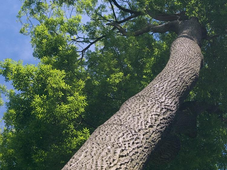 Ash tree trimming in colorado springs
